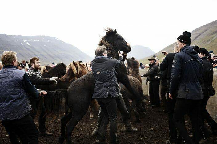 Islandske heste samles om efteråret © fotograf Ida Schmidt